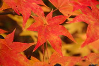 061031100508_view--hakodate_maple_leaves