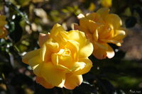 view--sapporo botanic garden - two yellow roses