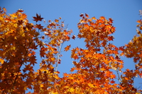 061124134038_view--orange_maple_leaves