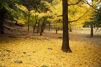 view--nara - golden carpet