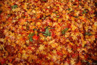 061127125517_view--ishikiri_-_crimson_carpet_of_autumn