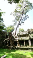 elephant trunk tree Siem Reap, South East Asia, Cambodia, Asia