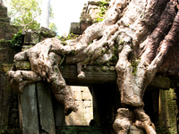 old roots Siem Reap, South East Asia, Cambodia, Asia