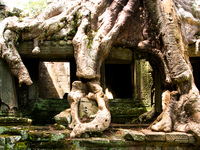 preah khan tree roots Siem Reap, South East Asia, Cambodia, Asia
