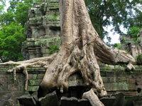 rajavihara roots Siem Reap, South East Asia, Cambodia, Asia