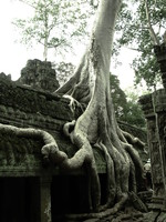 laura croft tree Siem Reap, South East Asia, Cambodia, Asia