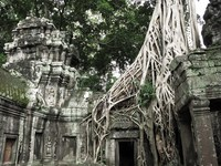 view--ta prohm strangler fig trees Siem Reap, South East Asia, Cambodia, Asia