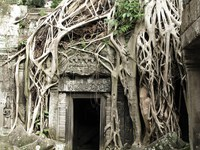 rooted entrance Siem Reap, South East Asia, Cambodia, Asia