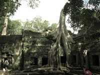 temple and roots Siem Reap, South East Asia, Cambodia, Asia