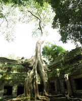 view--taprohm tree Siem Reap, South East Asia, Cambodia, Asia