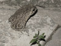 toad across national museum Phnom Penh, Siem Reap, South East Asia, Cambodia, Asia