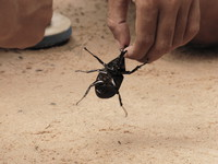 stag beetle Siem reap, South East Asia, Cambodia, Asia