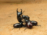 view--stag beetle death match Siem reap, South East Asia, Cambodia, Asia