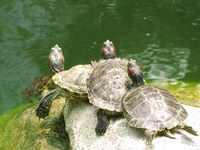 stack of turtles Hong Kong, Thailand, SAR, South East Asia, China, Thailand, Asia