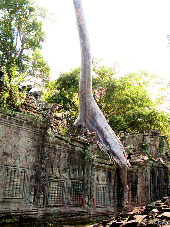 view--elephant tree in preah khan
