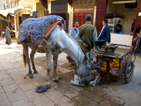 view--self feeding horse Fez, Imperial City, Morocco, Africa