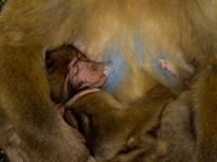 20101106155804_view--motherly_love_of_barbary_macaques