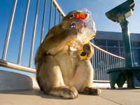 view--barbary monkey licking food wrapping Tangier, Algeciras, Gibraltar, Mediterranean Coast, Cadiz, Morocco, Spain, Gibraltar, Africa, Europe