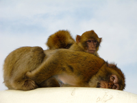 view--filial piety of monkeys Gibraltar, Algeciras, Cadiz, Andalucia, Spain, Europe
