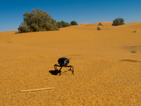 20101027113215_view--dung_beetle_of_sahara