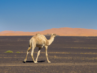 20101028123133_view--white_camel_wandering_in_desert