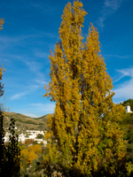 view--autumn tree Granada, Andalucia, Spain, Europe
