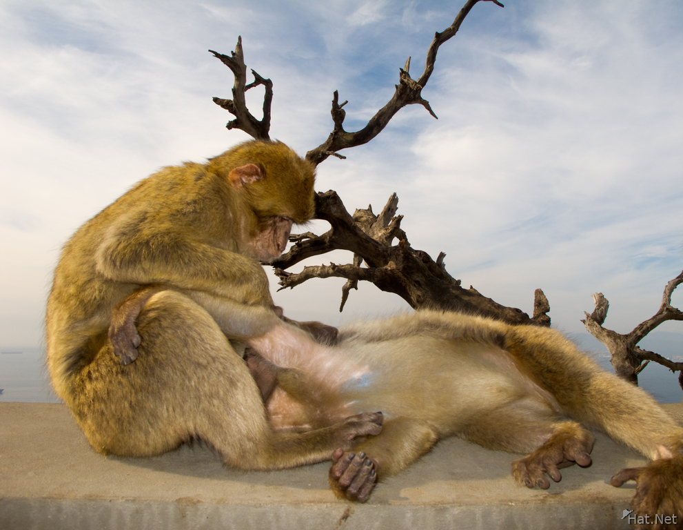 view--barbary macaques