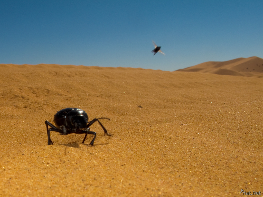 view--dung beetle catching fly